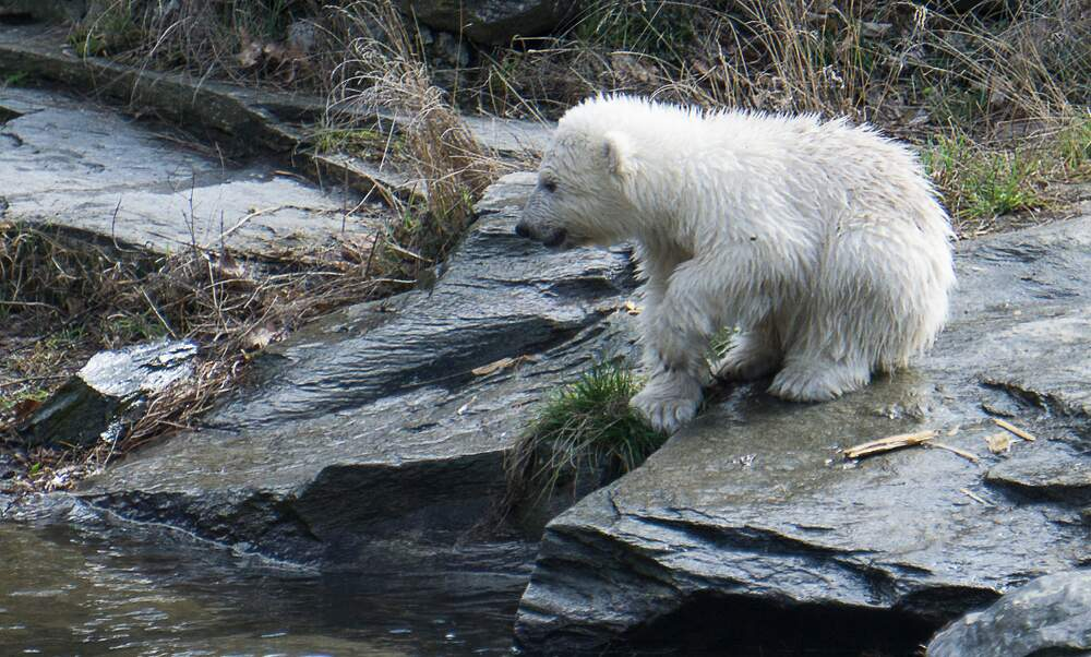 Baby polar bear causes a storm of visitors at Berlin Zoo