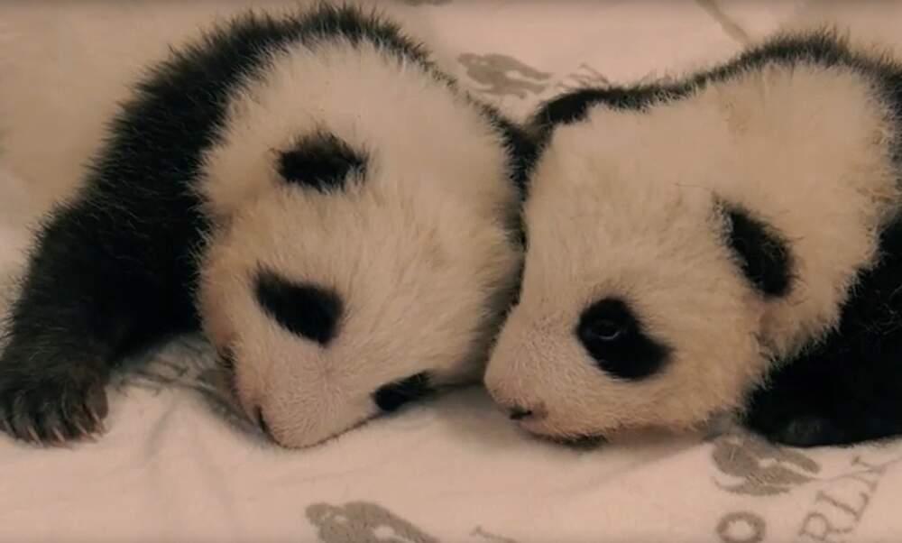 """It's a boy!"" Berlin Zoo reveals baby panda twins' names"