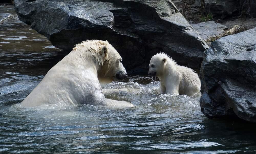 [Video] Berlin's baby polar bear Hertha takes her first swim