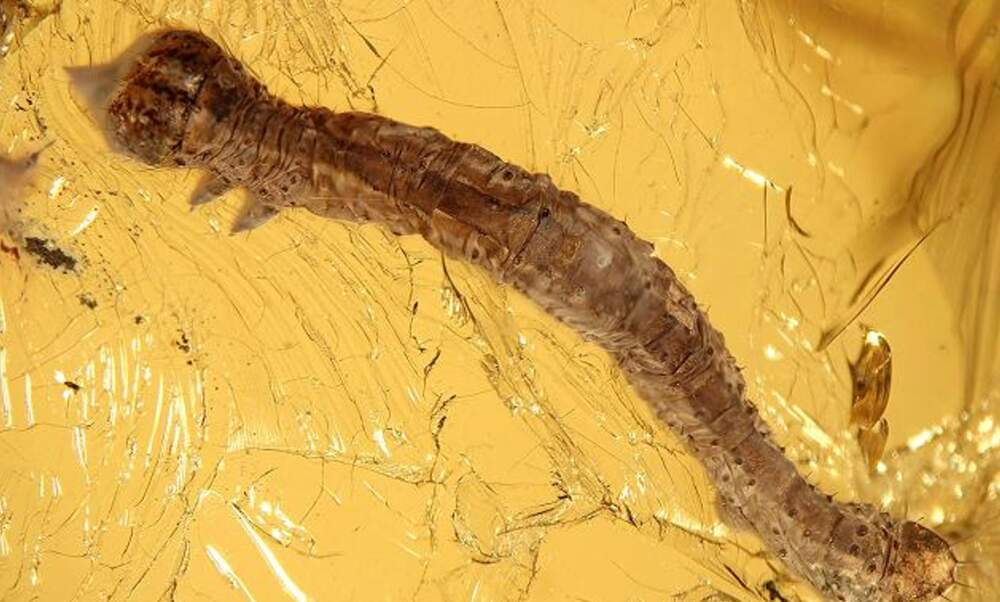 Munich researchers discover 44-million-year-old caterpillar preserved in amber
