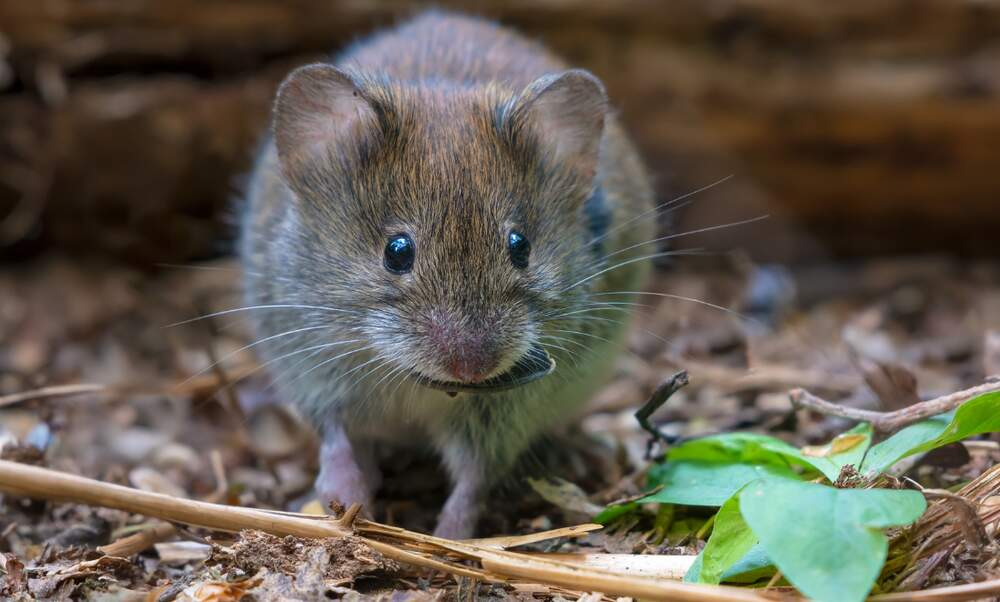 "Dangerous hantavirus on the up: Stuttgart is the ""epicentre"""