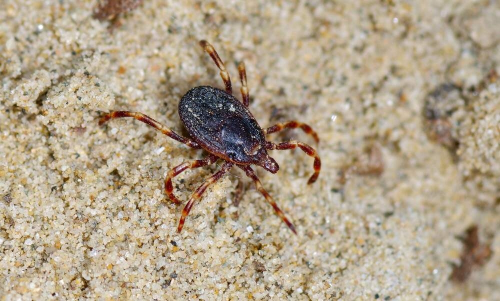 Giant tropical ticks overwinter in Germany for the first time