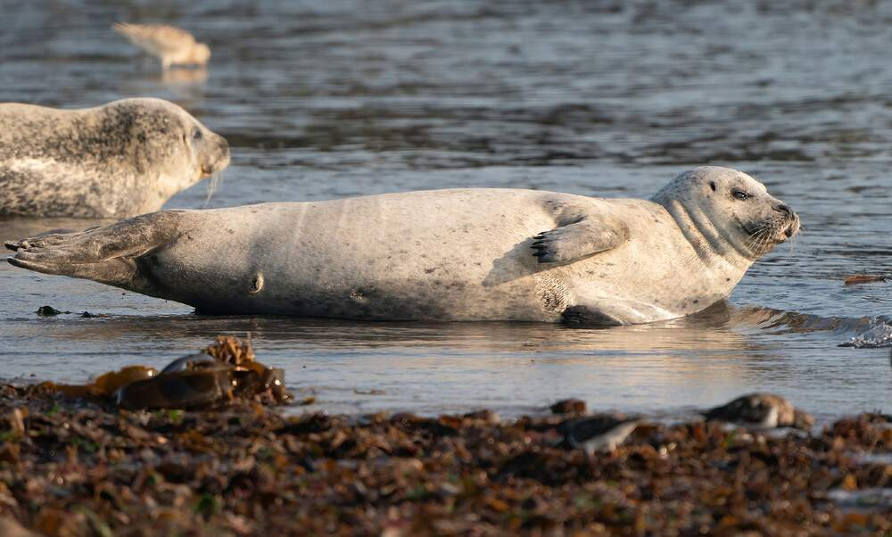 Record number of grey seal pups born on Heligoland