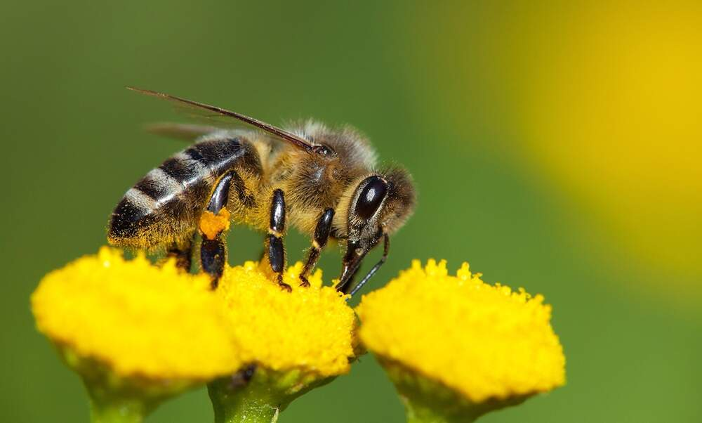 "How ""sniffer bees"" could help German police detect drugs"