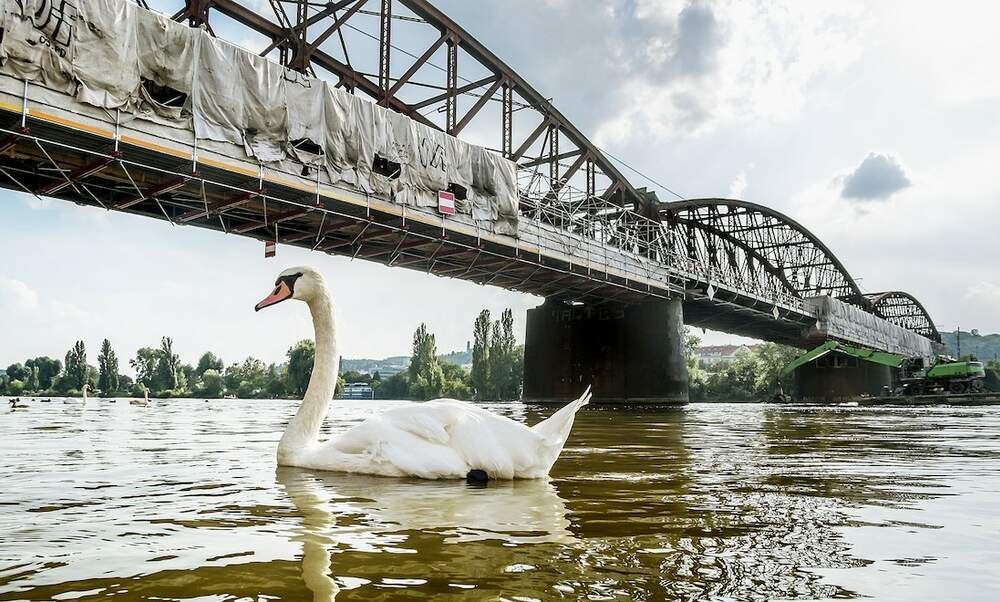 Mourning swan holds up trains in Germany for almost an hour