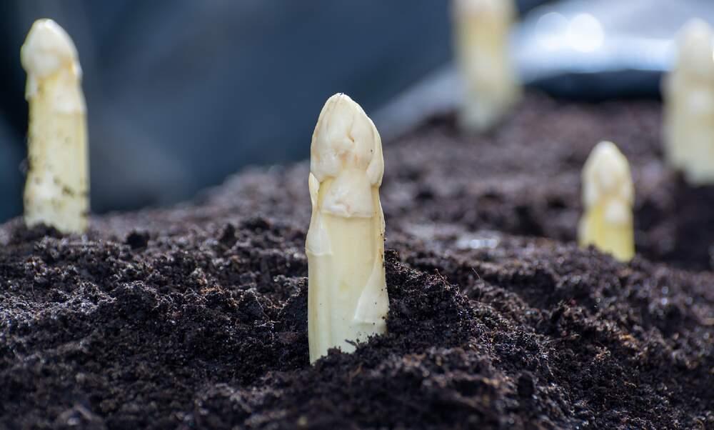 "German farmers say asparagus harvest is ""in grave danger"""