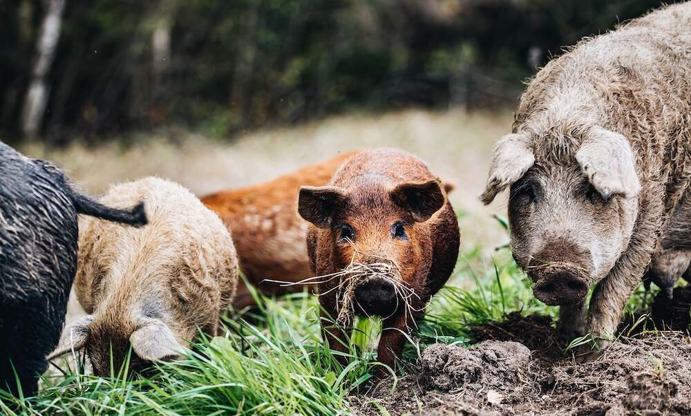 Swine fever epidemic has reached German borders