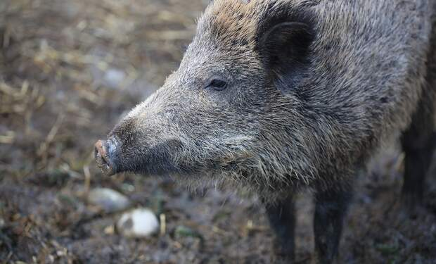 Naked Berlin sunbather chases wild boar after it steals his laptop
