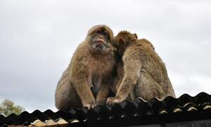 Troop of monkeys stage breakout from German zoo