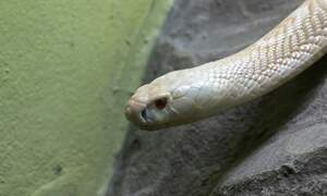 Poisonous cobra still on the loose in North-Rhine Westphalia