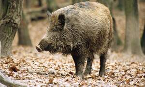 First case of African swine fever confirmed in Germany