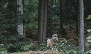 [Video] Rare sighting of a wolf in Brandenburg