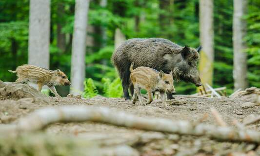 African swine fever case discovered 12km from German border