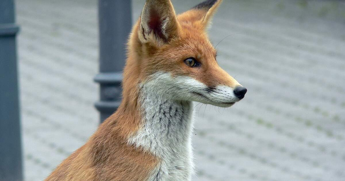 Naughty fox steals over 100 shoes in Berlin